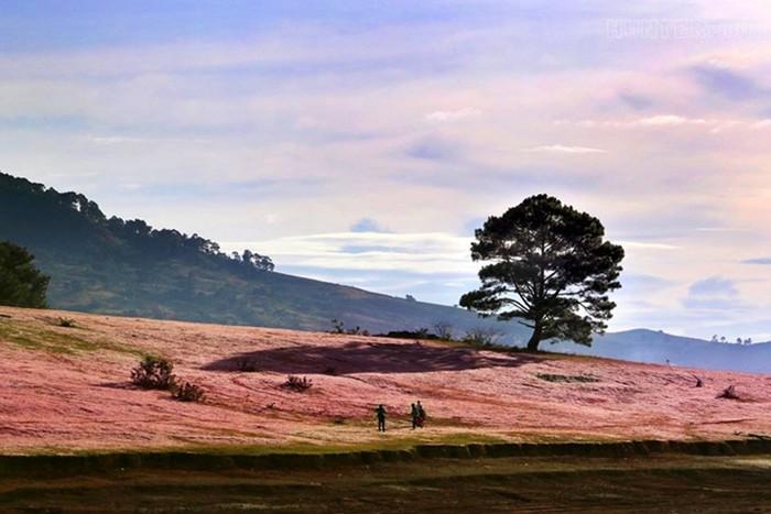 Cây thông cô đơn đồi cỏ hồng